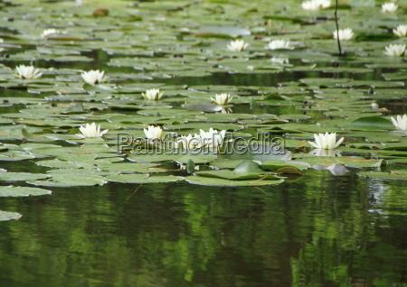white waterlily en lago con reflexion