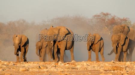 elefantes africanos en polvo