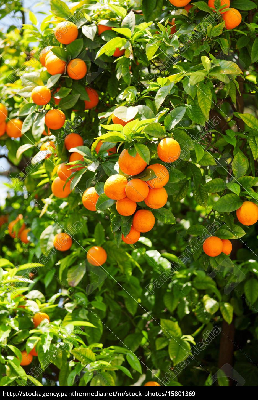 orange, tree, orange, tree, orange, tree, orange, tree - 15801369