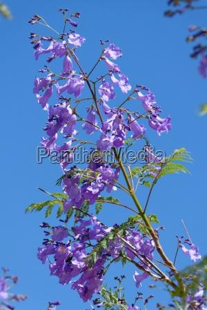 azul flores azul celeste madagascar sangrar