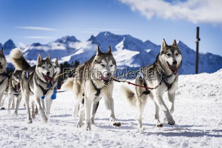 perros sledge en carreras de velocidad