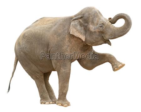 asiatico elefante hembra saludo recorte