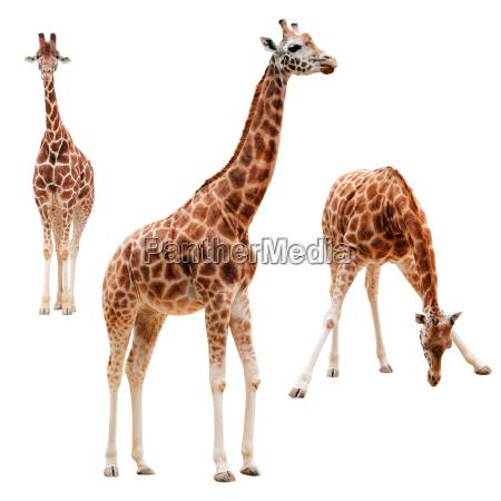 tres jirafa en diferentes posiciones aisladas