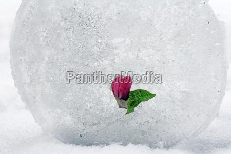 una rosa de nieve en el