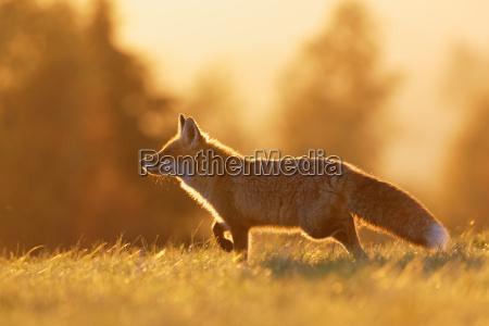 red fox en la luz de