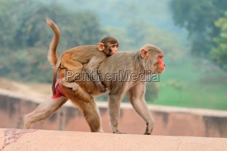 mono india mama animal bebe bebe