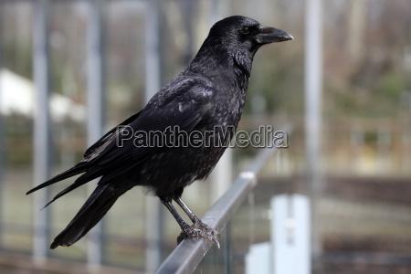 pajaro aves plumaje cuervo grajilla