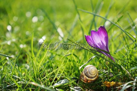 flor planta verde primavera azafran concha