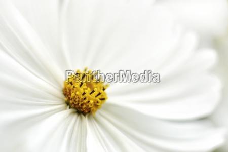flor del cosmos blanco coreopsideae vista