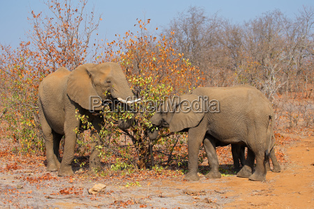 alimentando elefantes africanos