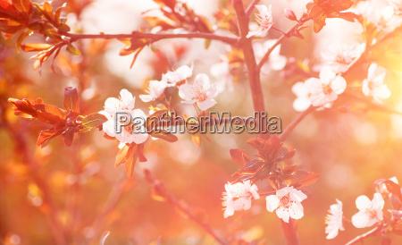 cerezo en flor de fondo