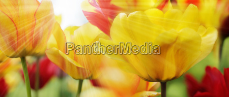red and yellow patterned tulips on