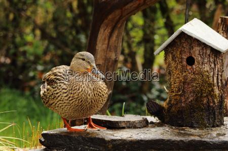 ducked females visit the garden pond