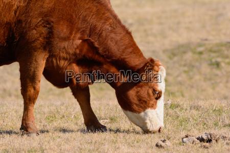 grazing de vaca de hereda con
