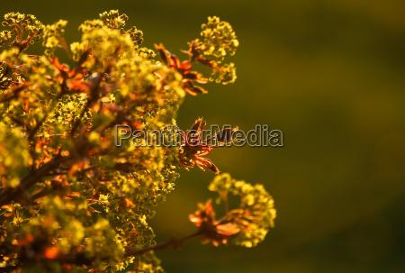 arbol colorido flores primavera capullo arce