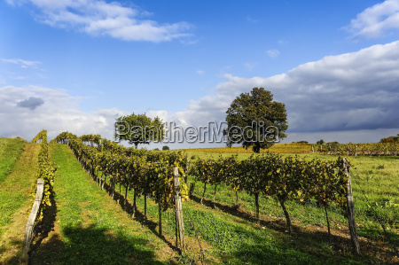 vineyard in burgenland near neusiedlersee