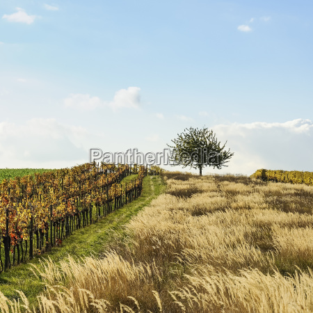 typical landscape with tree in burgenland