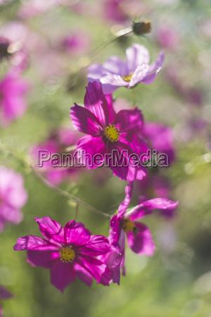 alemania flores de aster mexicano cosmos
