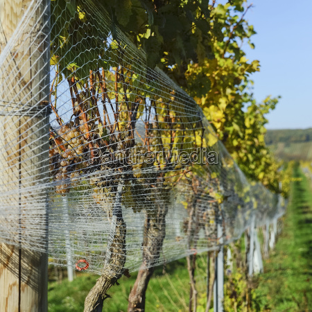 bird netting on the grapes in