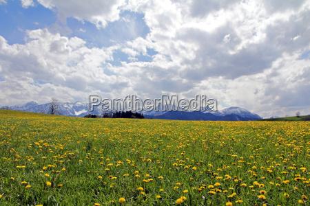 dandelions in spring before the snowy