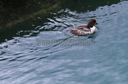 animal pajaro pato fowl ring necked