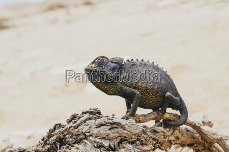 paseo viaje desierto animal reptil madera