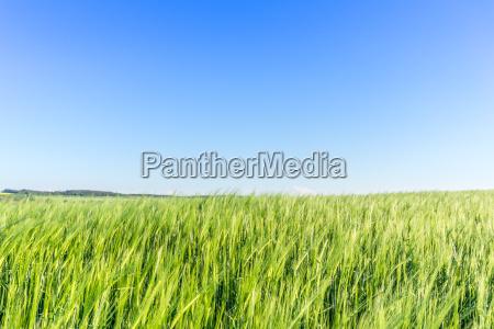 barley field in may