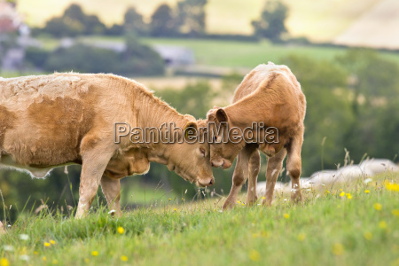 devon cow with calf in rural