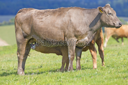 calf suckling from mother in rural