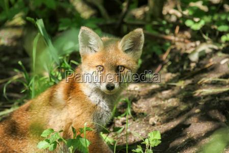 cazador animales jovenes rabia zorro naturaleza