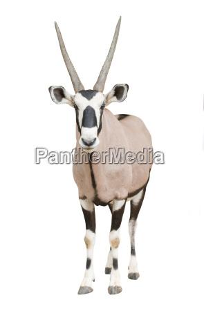 gemsbok u oryx