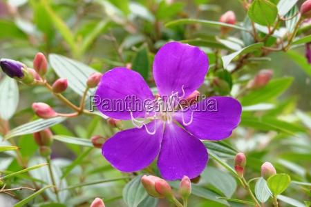 flores purpura sangrar china