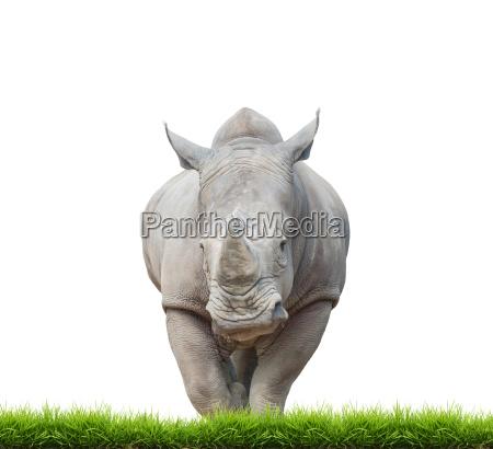 rinoceronte blanco rinoceronte de labios cuadrados