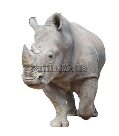 rinoceronte blanco aislado