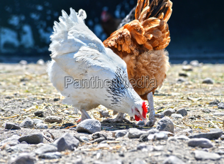 pollos en granja avicola tradicional de