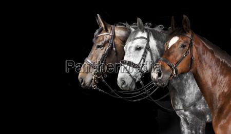 caballos collage fondo negro