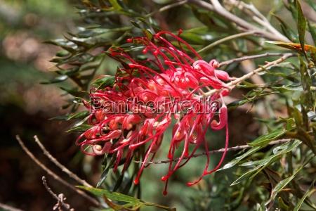 australia flores de plantas ornamentales sangrar