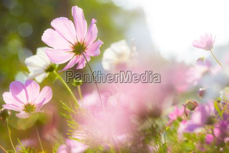 flores de cosmos en flor con
