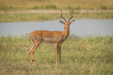 impala masculino en la orilla del