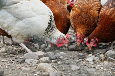 pollos en la granja de aves