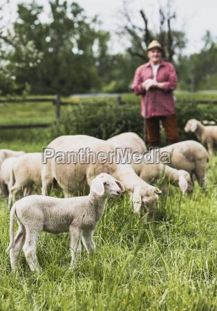 pastor con rebanyo de ovejas en