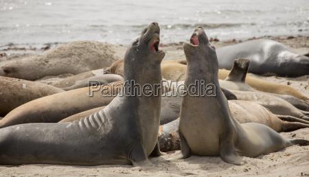 focas de elefante del norte