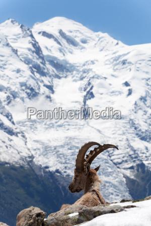 capricornio en los alpes franceses