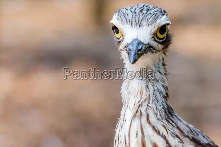 pajaro brush stone curlew