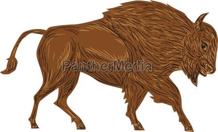bisonte bufalo