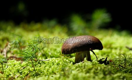 musgo hongo comestible hongos mantequilla bosque