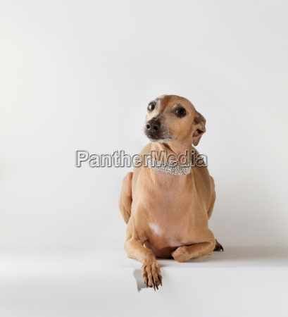 dog wearing jewelry looking at