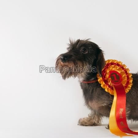 dog wearing first prize ribbon