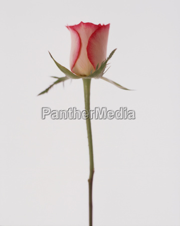 single, pink, rosebud, on, white, background - 18273578