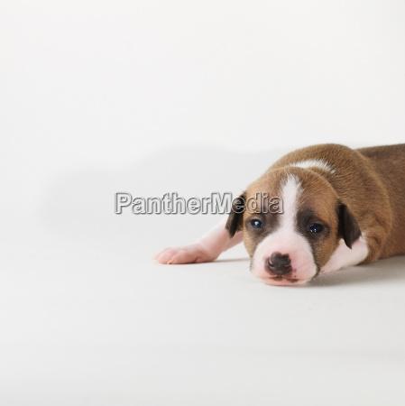 dog lying on white background